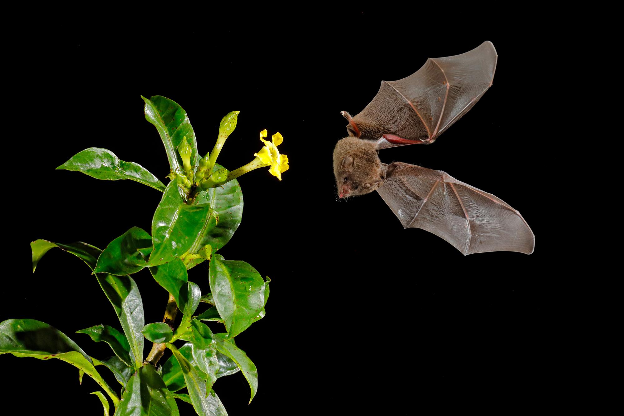 Для ночных летучих мышей эхолокация— основной инструмент ориентирования впространстве. При определённой тренировке подобный навык может помочь илюдям спотерей зрения.