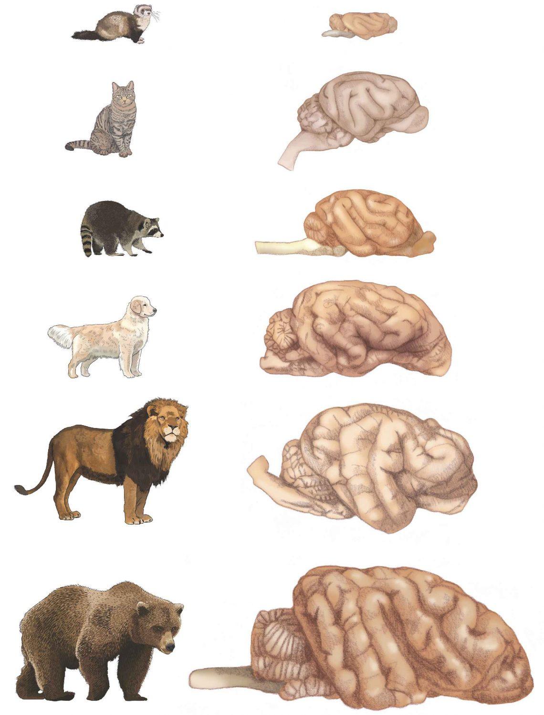 Соотношение размеров мозга вотряде Carnivora