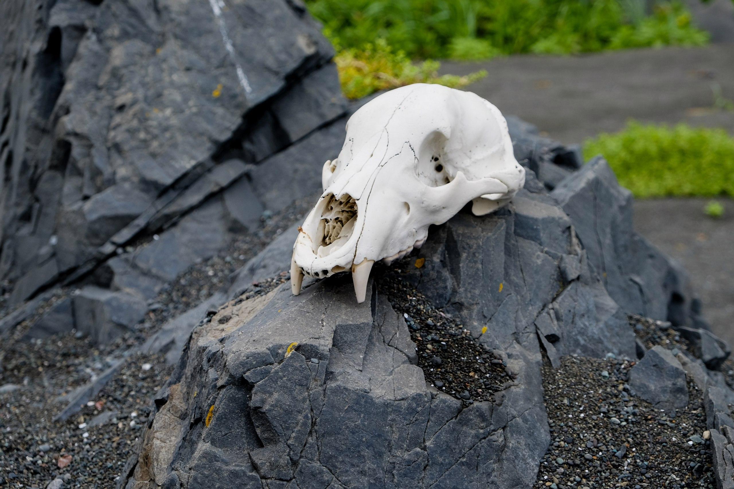 Череп медведя Морис, найденный Антоном во время экспедиции кмысу Африка.