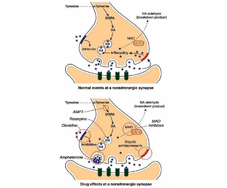 Работа ингибитора МАО (норадренергический синапс)