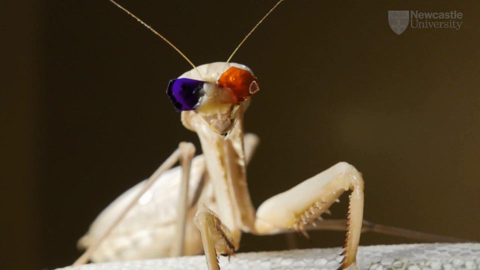 Свою экспериментальную установку сами учёные окрестили «3D-кинотеатром для насекомых». Чтобы надеть набогомолов очки, их пришлось сначала обездвижить, поместив на5 минут вморозилку.