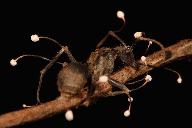 Муравей, погибший из-за гриба-паразита. Наснимке хорошо видны спороносные части гриба.