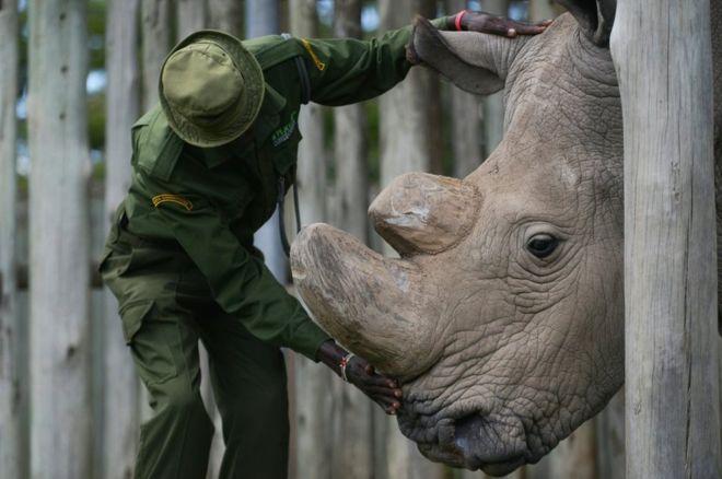 Судан, последний самец северного белого носорога. Фото 2016г. Credit AFP.