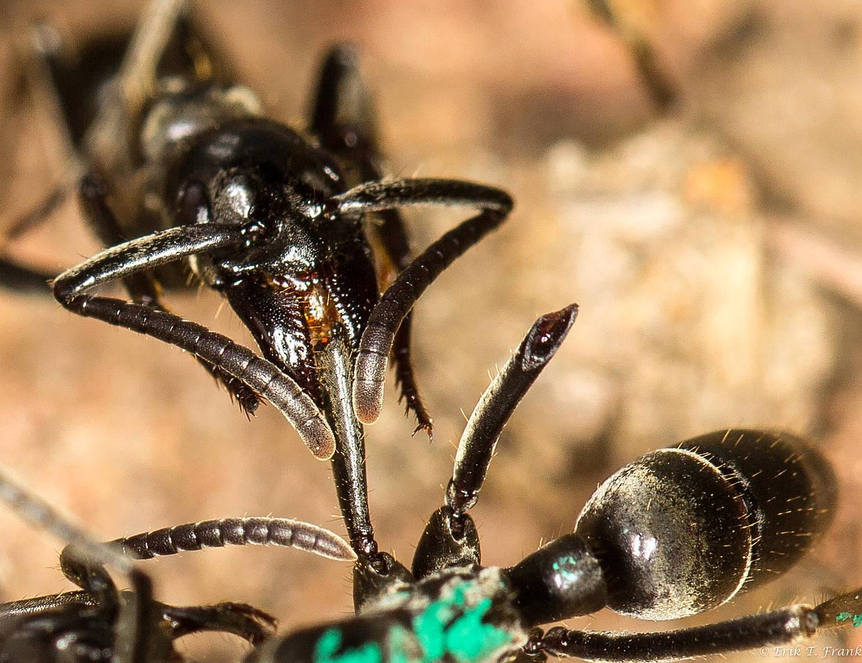 <i>Megaponera analis</i> лечит товарища.