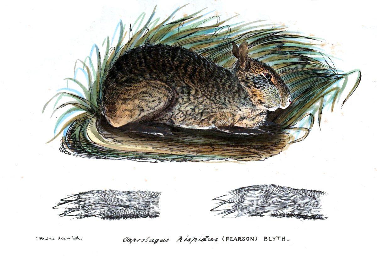 Рисунок щетинистого зайца.