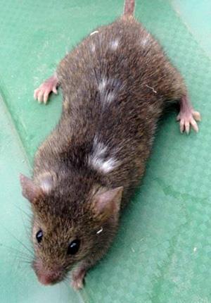 На шёрстке потомства самоодомашненных серых мышей появляются белые пятна
