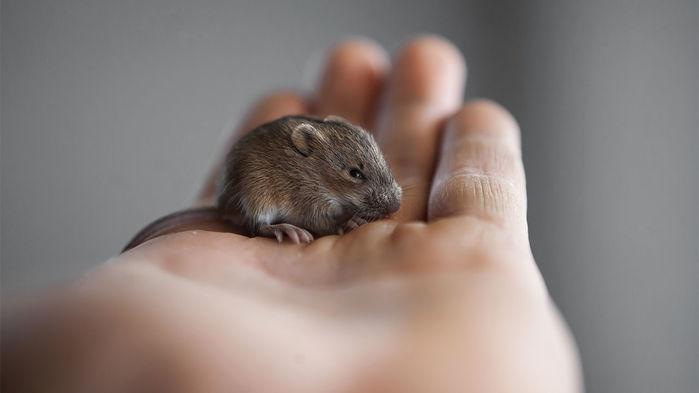 Живя рядом слюдьми под защитой от хищников, дикие мыши могут приобретать черты домашних безо всякого целенаправленного воздействия со стороны человека