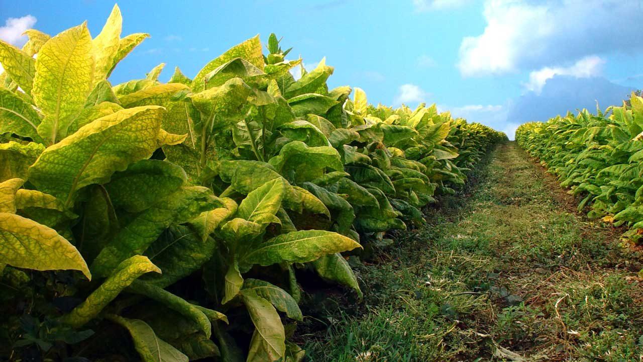 Табачная плантация.