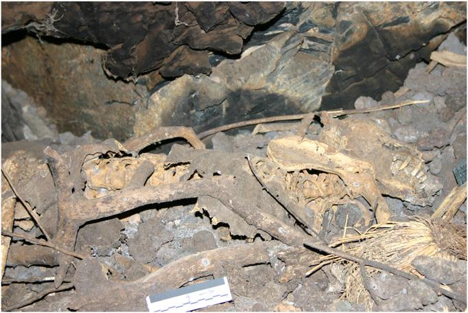 Мумия самца павиана надне пещеры Мисгрот. Вокруг можно увидеть скопление павианьих экскрементов