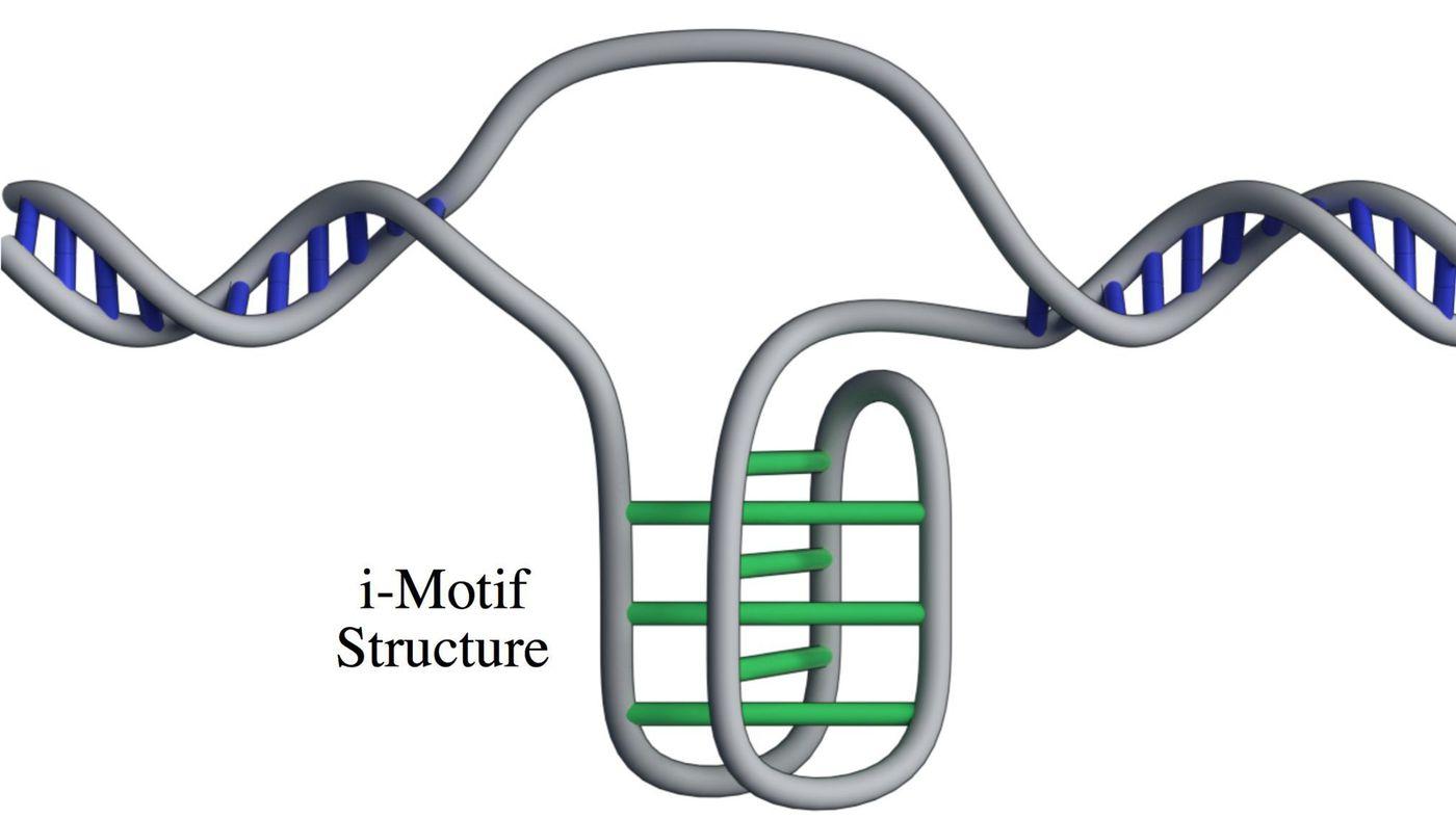 """Схема формирования «узелка» нацепочке <abbr lang=""""ru"""" title=""""Дезоксирибонуклеиновая кислота"""">ДНК</abbr>."""