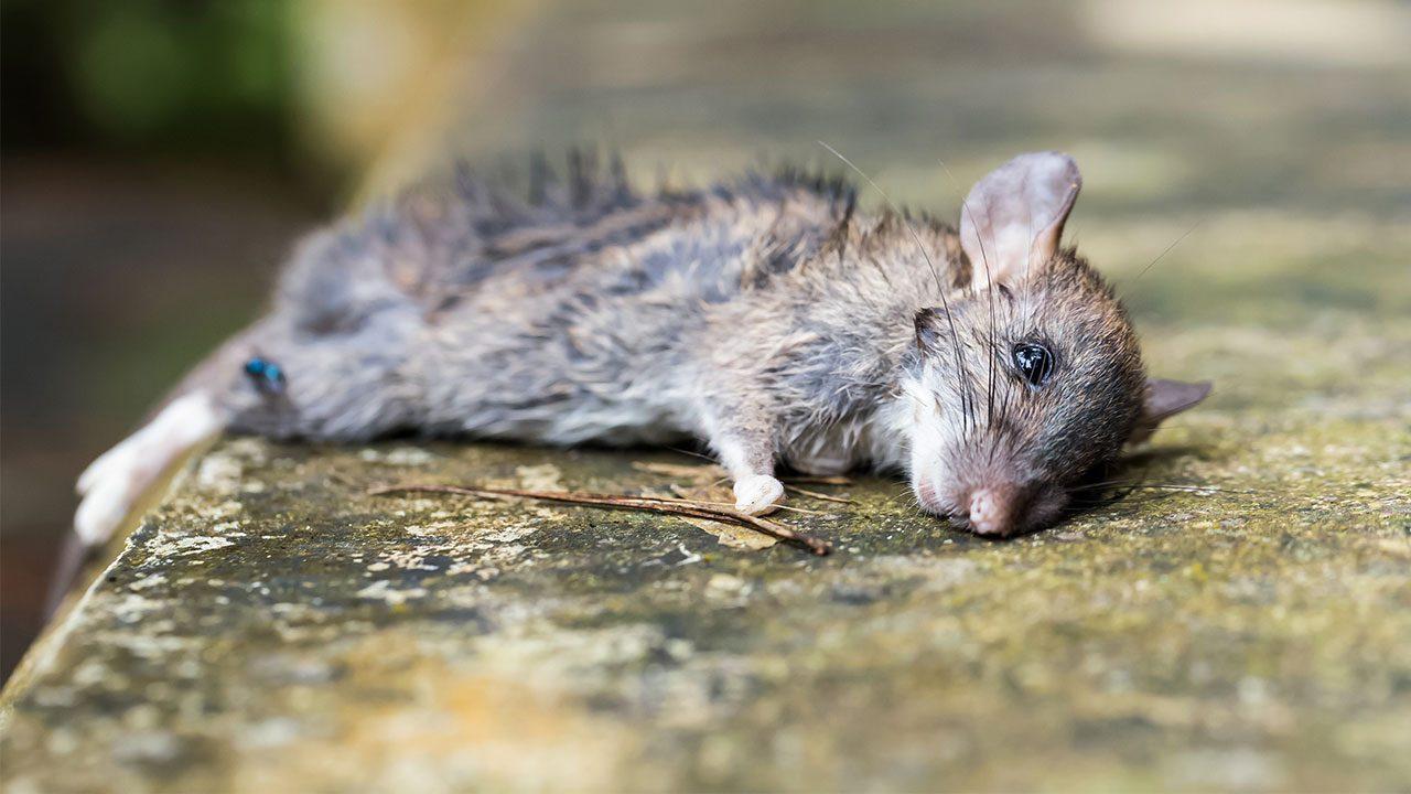 Эта крыса уже мертва. Но многие её гены— нет.