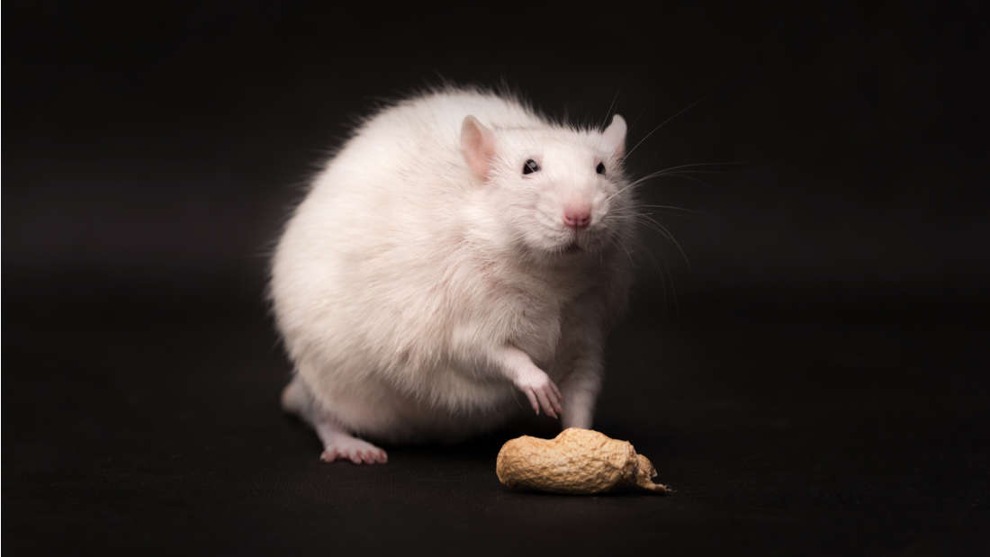 Мыши-аллергики, получившие три дозы новой вакцины, по крайней мере, намесяц избавились от аллергии наарахис.