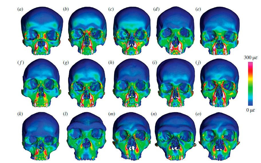 Результат анализа методом конечных элементов «переднего укуса» для 10 черепов <i>Homo sapiens</i> (a—k), гейдельбергского человека (l) итрёх неандертальцев (m—o).