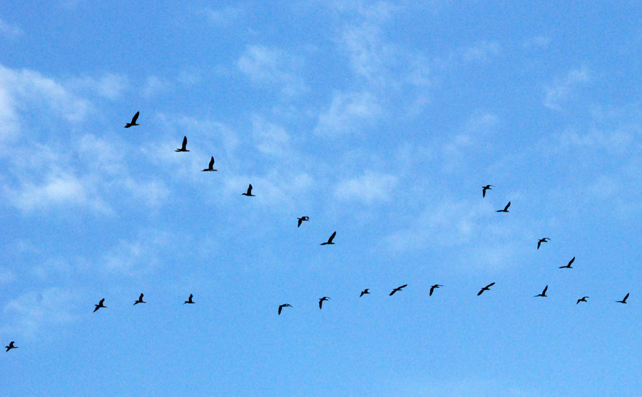 Летят перелётные птицы.