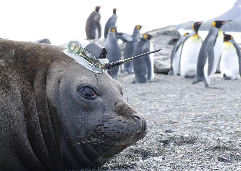 Учёным очень понравилось сотрудничать стюленями, иони хотят ещё.