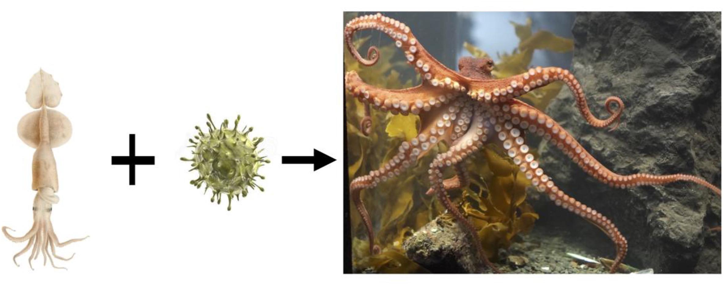 Иллюстрация из статьи, раскрывающая тайну происхождения осьминогов.