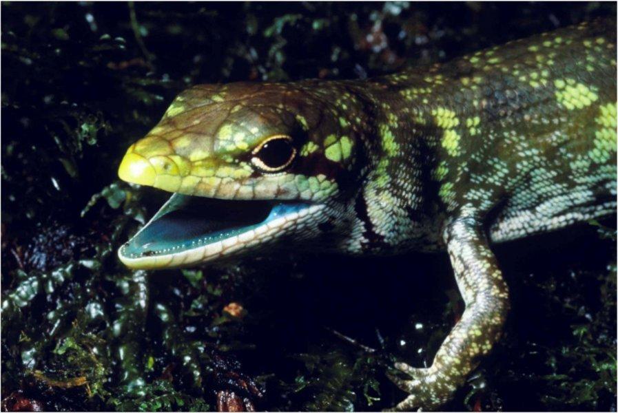 Зеленокровная ящерица.