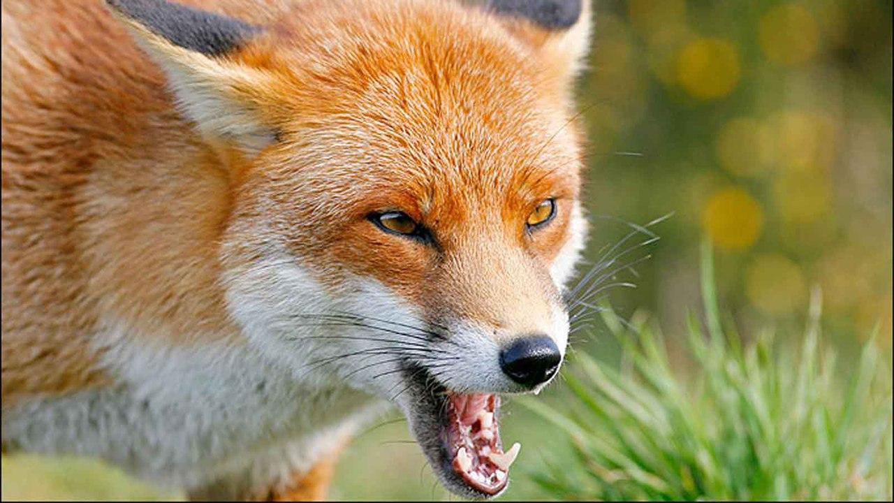 Основным природным резервуаром бешенства натерритории России считаются дикие лисицы. Но заразиться этой смертельно опасной болезнью можно иот любых других плотоядных, втом числе— от домашних питомцев.