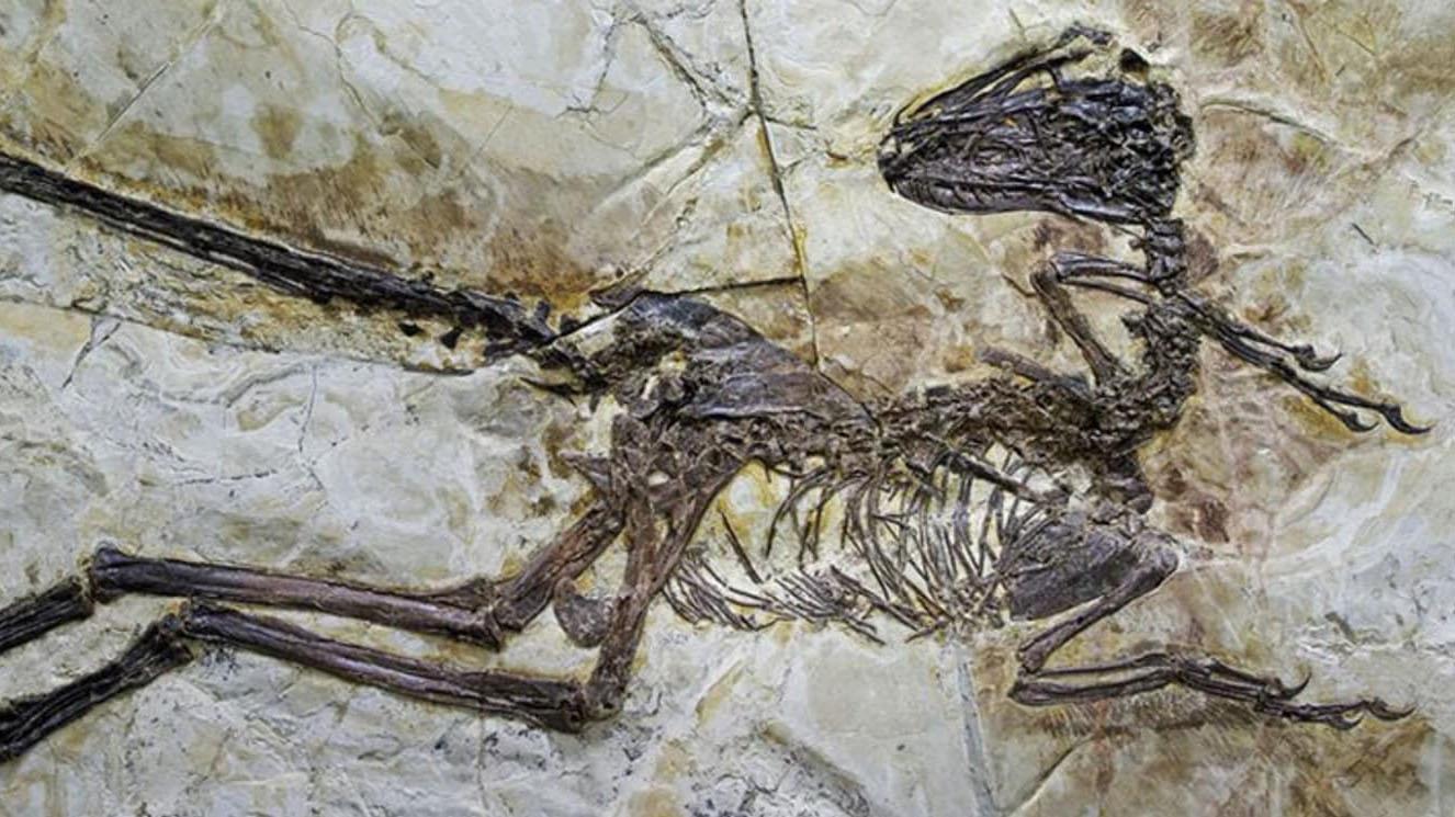 Окаменелые останки оперённого динозавра.