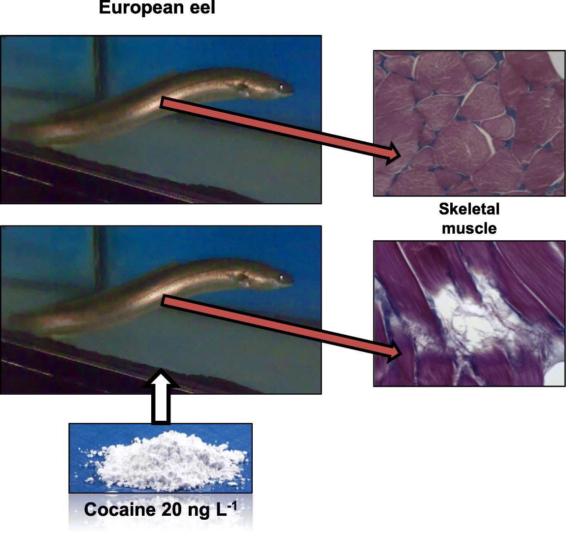 Кокаин вреден для угря