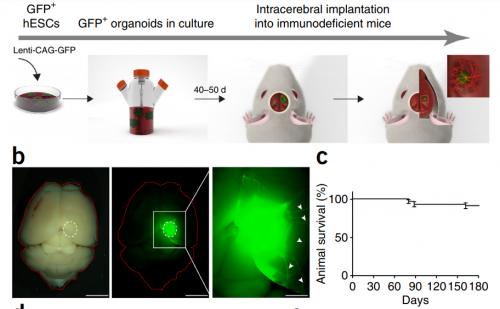 Рис. 10. Имплантация органоидов человеческого мозга вмышиный. (а) Процедура получения органоидов, окрашенных зеленым флуоресцирующим белком GFP, из человеческих эмбриональных стволовых клеток (hESC) ивнутричерепная имплантация вмозг иммунодефицитных мышей. (b) Слева— общий вид мозга мыши симплантом вобычном свете ифлуоресцентном. Справа— увеличенный вид сотростками нейронов (белые стрелки). (с) График выживания мышей.
