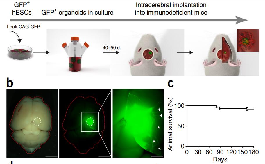 Рис. 10. Имплантация органоидов человеческого мозга вмышиный. (а) Процедура получения органоидов, окрашенных зелёным флуоресцирующим белком GFP, из человеческих эмбриональных стволовых клеток (hESC) ивнутричерепная имплантация вмозг иммунодефицитных мышей. (b) Слева— общий вид мозга мыши симплантом вобычном свете ифлуоресцентном. Справа— увеличенный вид сотростками нейронов (белые стрелки). (с) График выживания мышей.