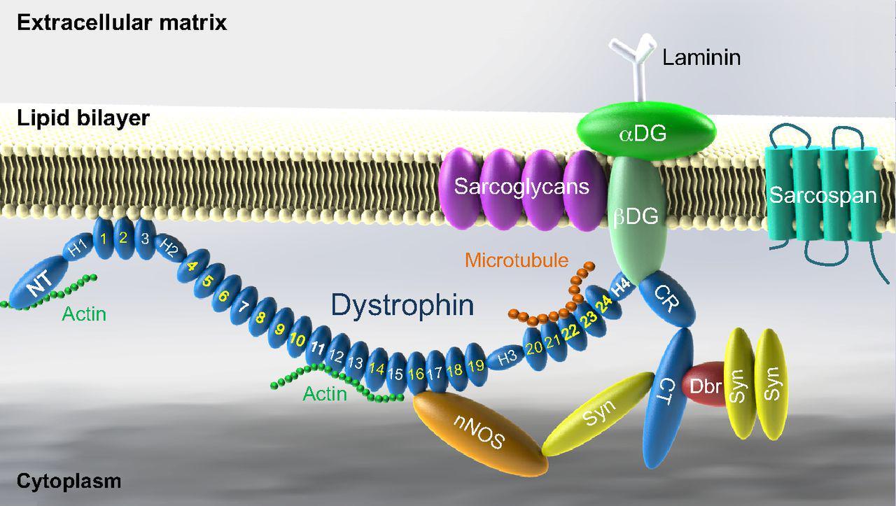 Рис. 14. Схематическое изображение взаимодействия дистрофина сбелками дистрофин-ассоциированного гликопротеинового комплекса.