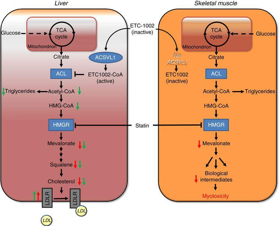 Рис. 6. Механизм действия бемпедоевой кислоты (ЕТС-1002).