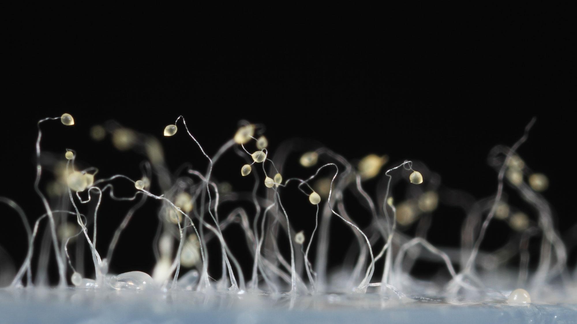 В суровых условиях социальные амёбы вида Dictyostelium discoideum группируются. Затем некоторые из них жертвуют собственным размножением, создавая стеблевидные нити, накоторых другие амёбы поднимаются вверх, чтобы ветер рассеял их споры.