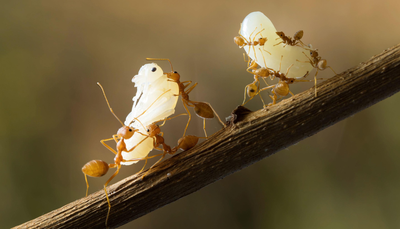 Эти муравьи дружно переносят куколки своей колонии из старого муравейника вновый. (Муравьи-подростки бывают крупнее рабочих муравьёв, вкоторых они со временем превращаются). Такая кооперация, даже вущерб индивидуальной плодовитости рабочих, является отличительной чертой муравьиного поведения.