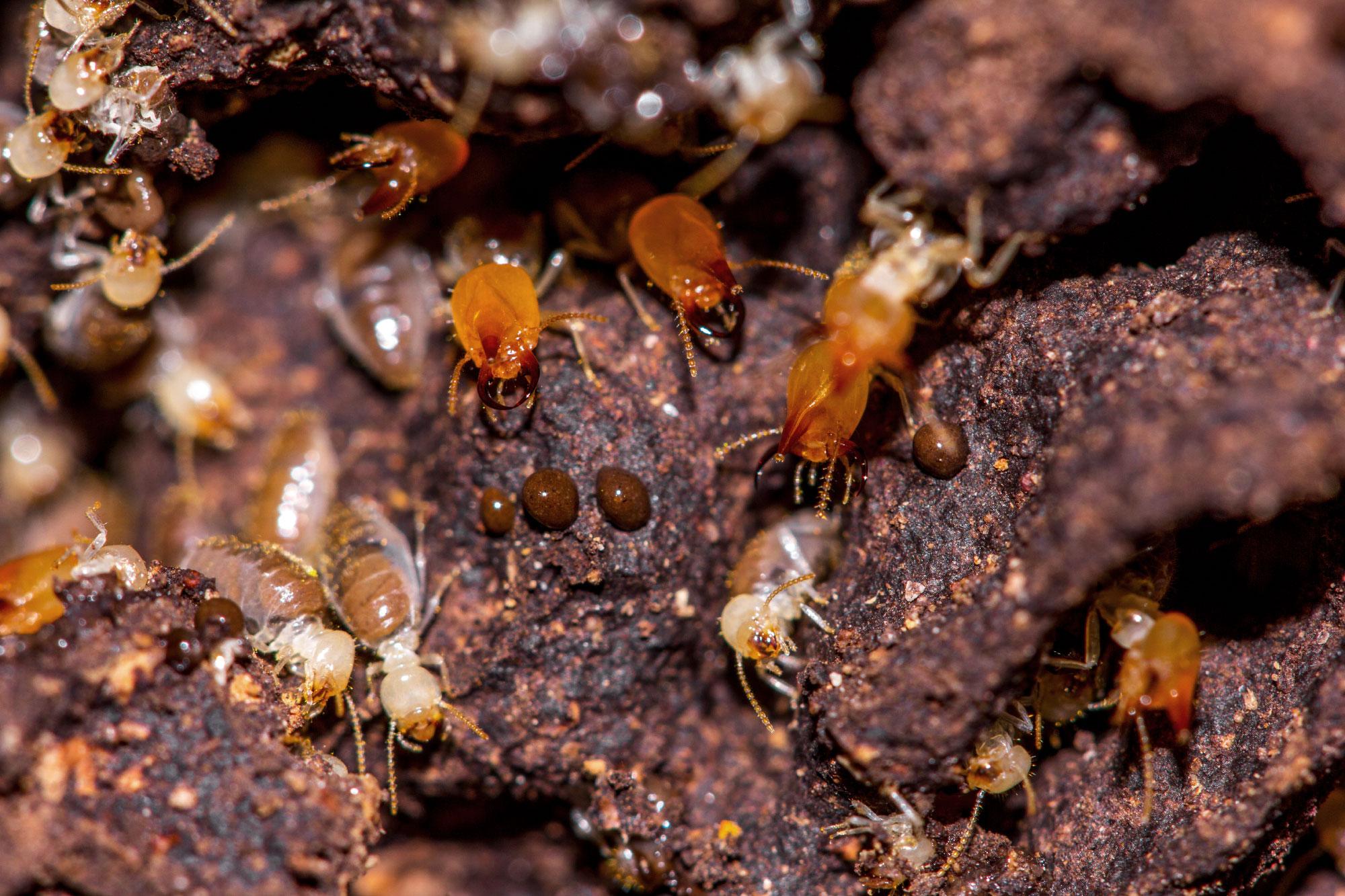 Термиты стали эусоциальными на50 миллионов лет раньше, чем муравьи, пчёлы иосы. Недавние исследования показали, что, по-видимому, социальное развитие всех этих насекомых шло по сходным путям, несмотря насущественные биологические различия между термитами, содной стороны, имуравьями, пчёлами иосами— сдругой.