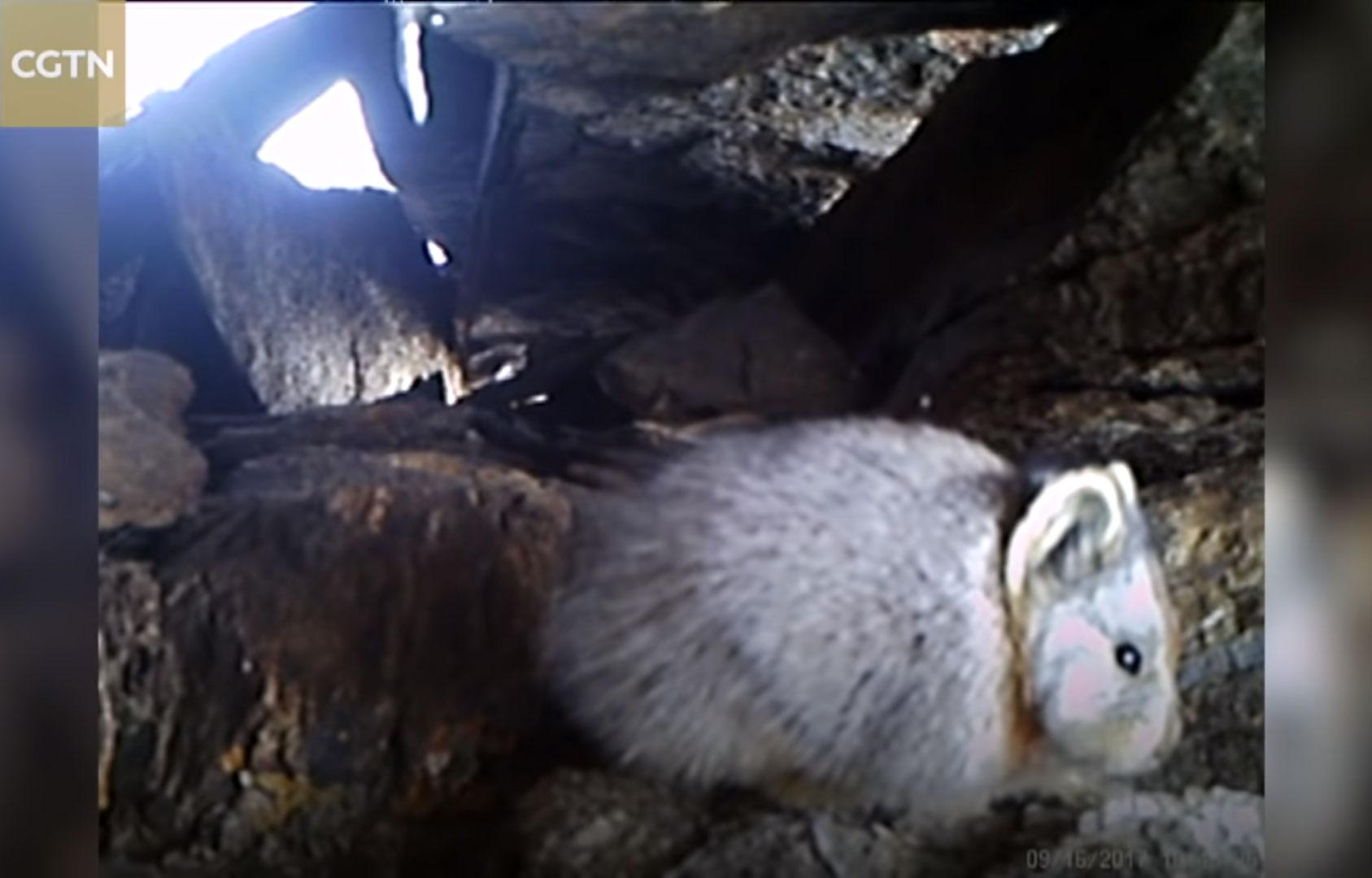 Илийская пищуха вестественной среде обитания.