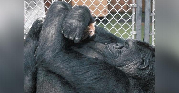 Скончалась знаменитая «говорящая» горилла Коко