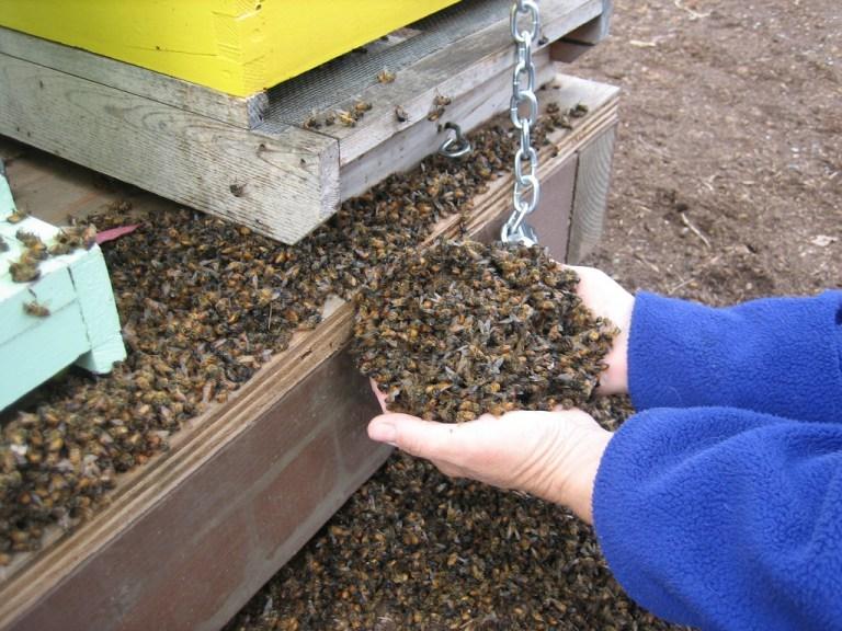 Мёртвые пчёлы. Это фото обречено появляться вновостных лентах снова иснова.