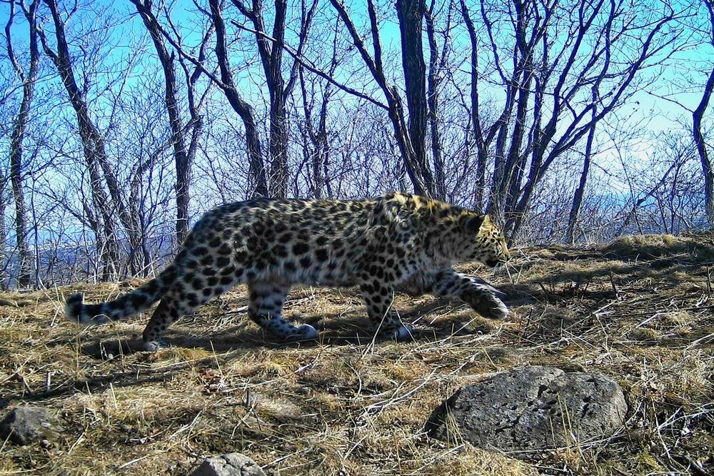 Дальневосточный леопард. Фото: Пресс-служба ФГБУ «Земля леопарда»