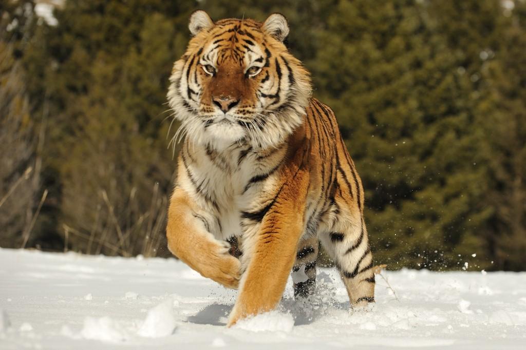 Амурский тигр.