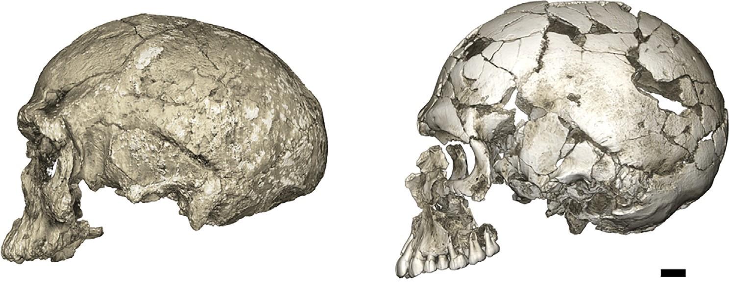 Эволюционные изменения вформе мозговой части черепа— от вытянутой кокруглой. Слева— КТ черепа Джебелб-Ирхуд 1 (300 тыс. лет, Северная Африка), справа— Кафзех 9 (95 тыс. лет, Ближний Восток).