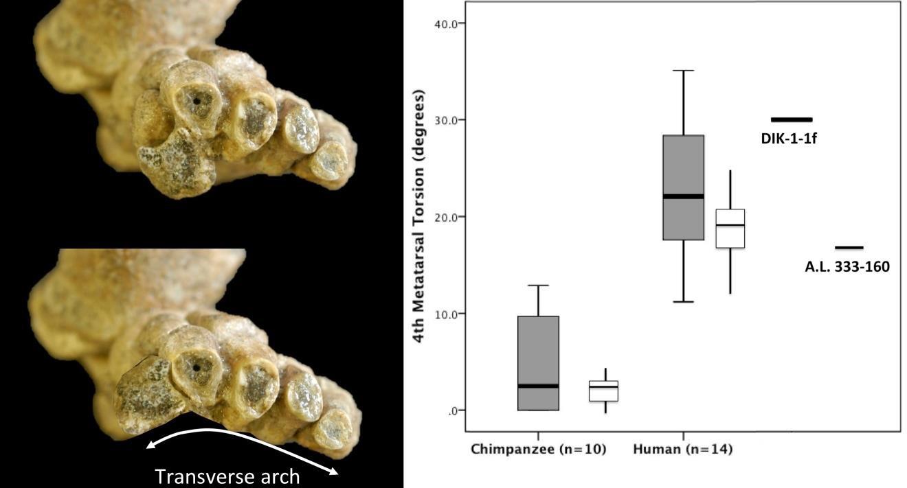 Слева— поперечный свод стопы DIK-1-1f: вверху— втом виде, вкаком стопа была найдена, внизу— свыправленным положением 1-й плюсневой кости. Справа— скрученность 4-й плюсневой кости ушимпанзе, человека иу австралопитеков DIK-1-1f иA.L. 333-160