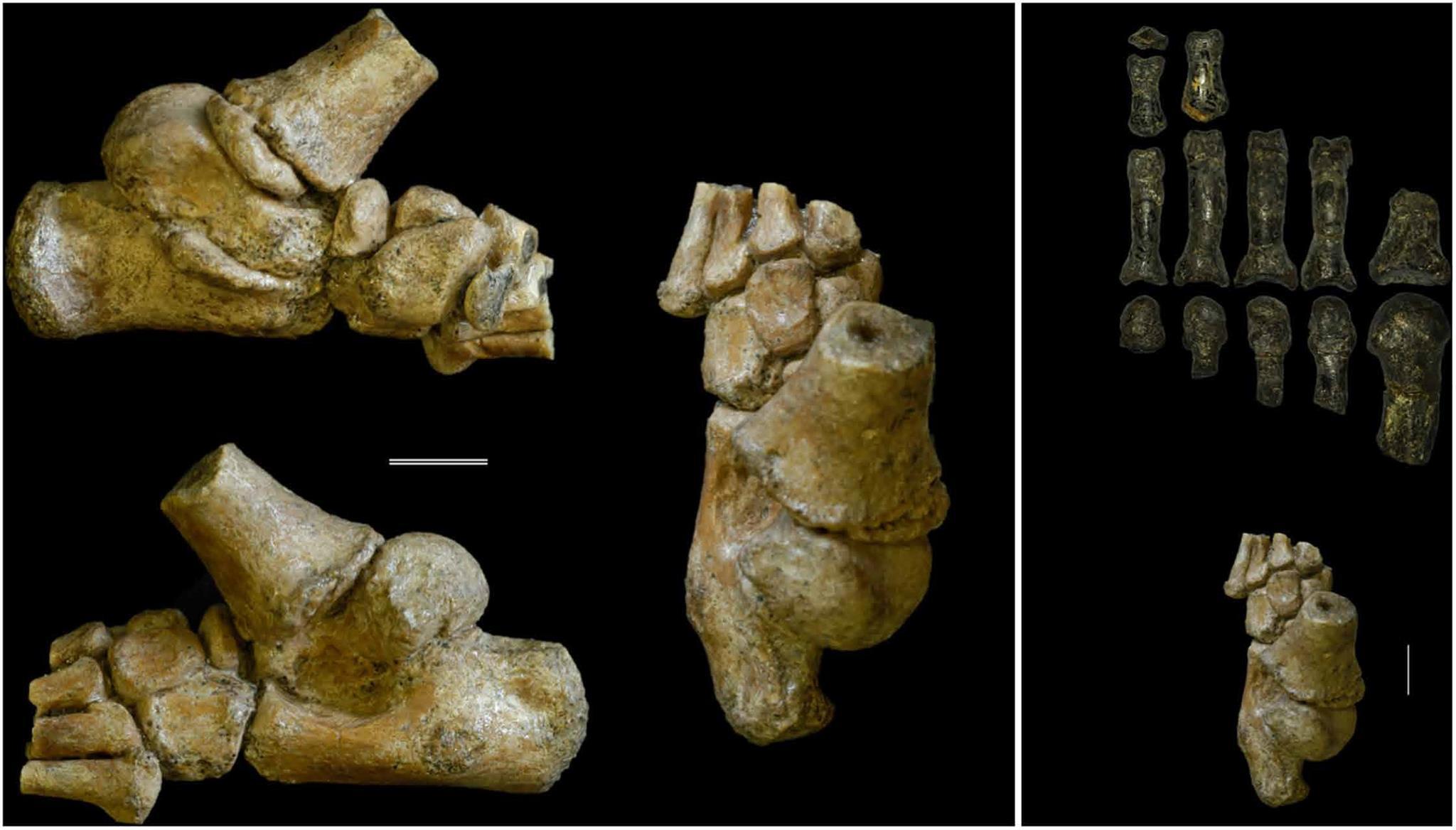 Слева— стопа DIK-1-1f вразных проекциях. Справа снизу— стопа DIK-1-1f (вид сверху), справа вверху— кости стопы взрослого австралопитека A.L. 333-115.