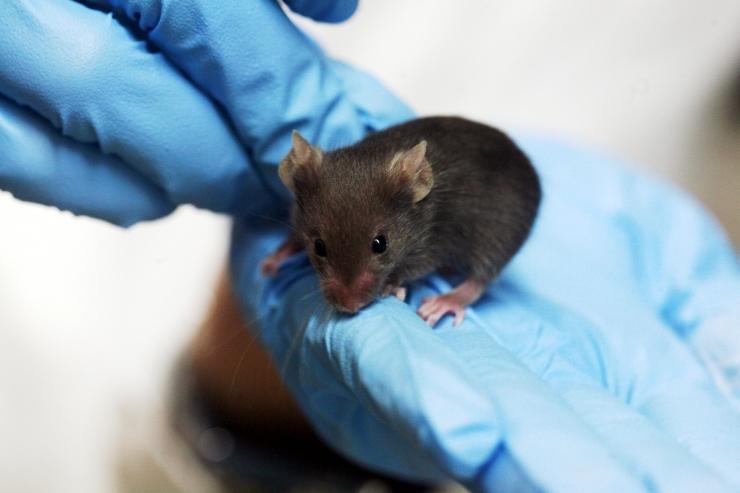В ходе экспериментов учёным удалось улучшить состояние даже тех мышей, которым, по человеческим меркам, уже исполнилось 75 лет.