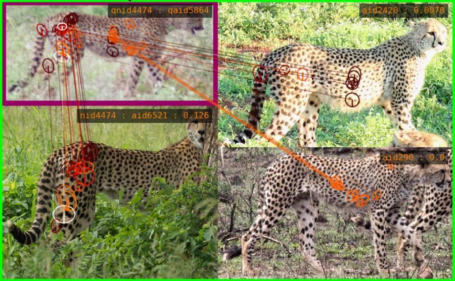 Искусственный интеллект анализирует рисунок нашкуре леопарда, чтобы научиться «узнавать» конкретную особь «в лицо».