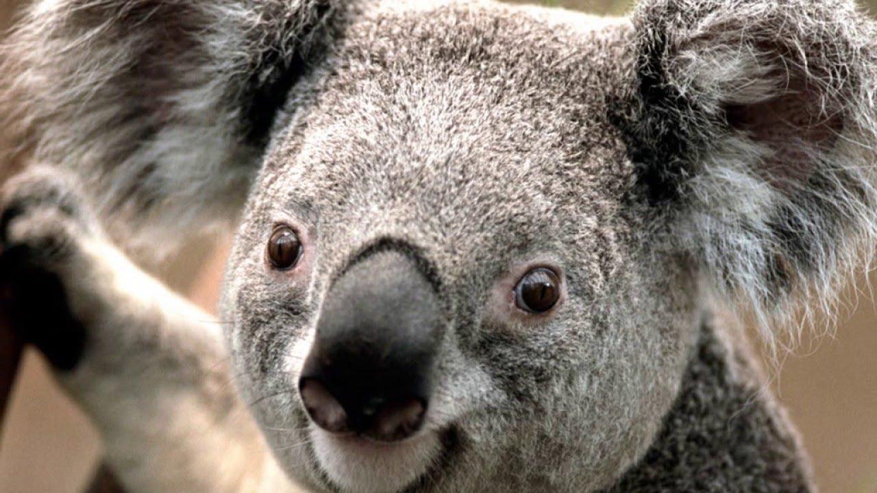 Коала— единственный современный представитель семейства коаловых (Phascolarctidae) из отряда двурезцовых сумчатых (Diprotodontia).