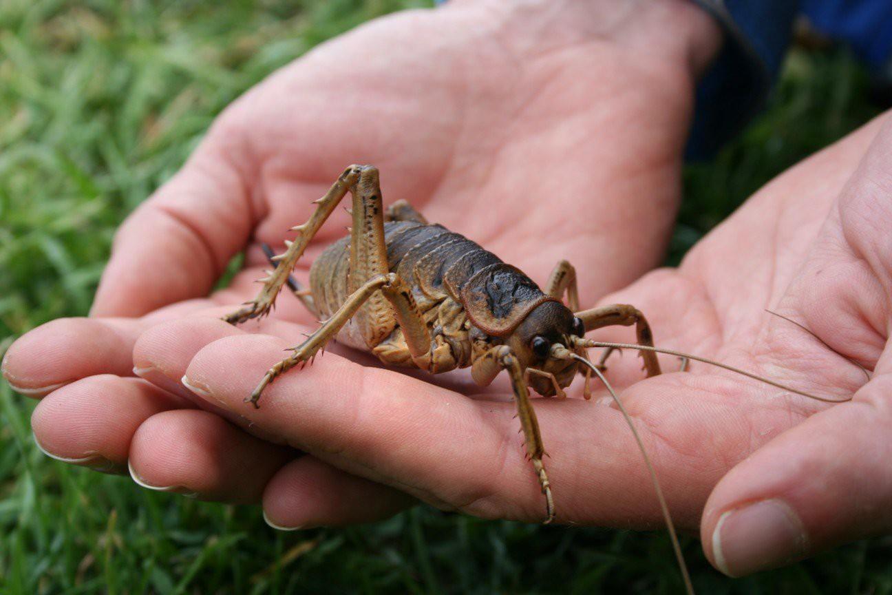 Гигантская уэта— насекомое из Новой Зеландии.