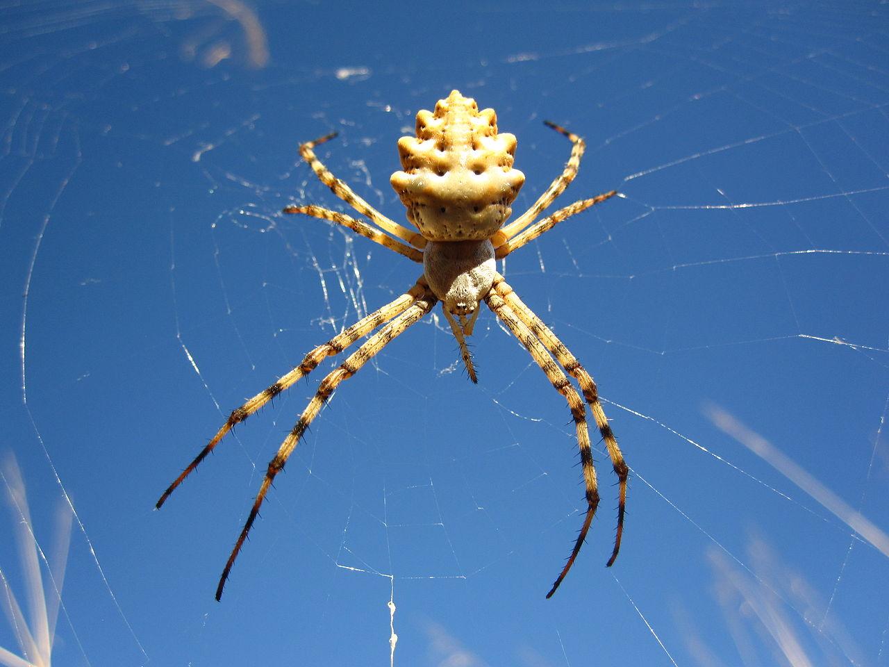 Так выглядит паук <i>Argiope lobata</i>. Его яд парализует как беспозвоночных, так имелких позвоночных животных. Для крупных животных (в т.ч. человека)— неопасен. || Фото— Tashkoskim, <i>Wikimedia Commons</i>.