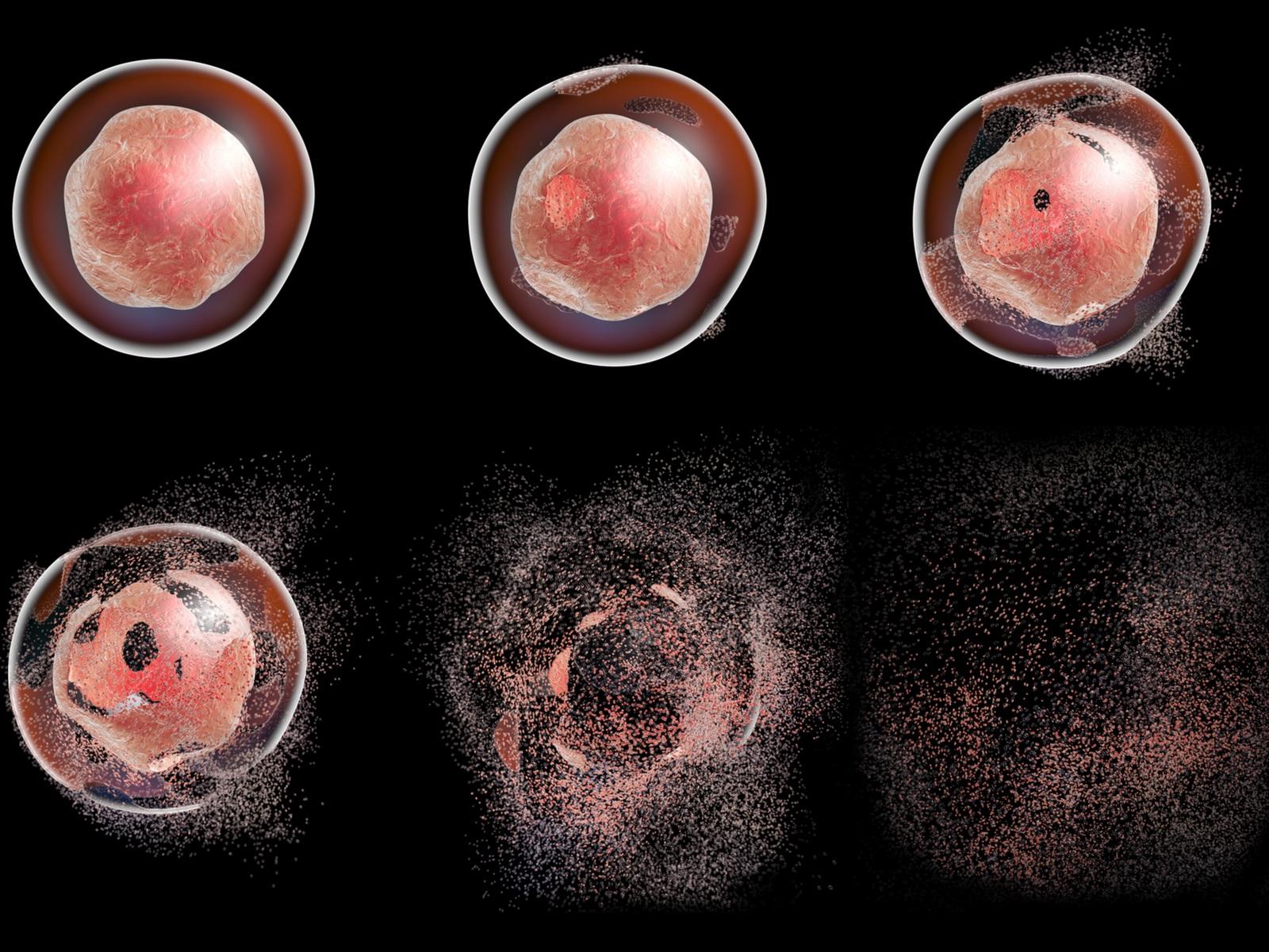 Апоптоз начинается сполучения клеткой сигнала кначалу «запрограммированного самоубийства» ипостепенно охватывает всю клетку, уничтожая её.