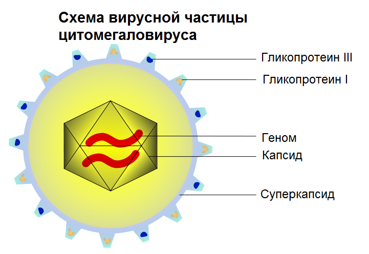Схематичное изображение частицы цитомегаловируса.