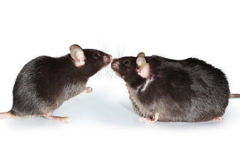 Как илюди, мыши могут страдать ожирением исвязанными сним заболеваниями. Однако новой инбредной линии мышей ожирение негрозит.