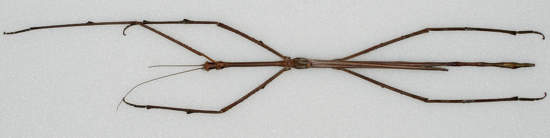 Phobaeticus chani