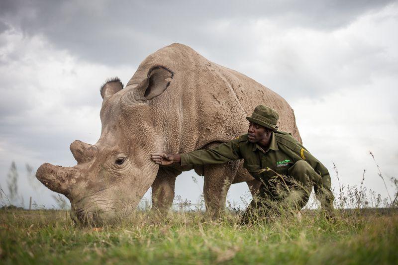 Самка Фату (Fatu), одна из двух последних особей северного белого носорога, живёт вкенийском заповеднике Ол Педжета (Ol Pejeta Conservancy).