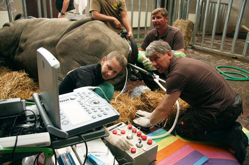 Оплодотворение яйцеклеток, взятых усамок южного белого носорога, спермой северного белого носорога позволило получить гибридные эмбрионы